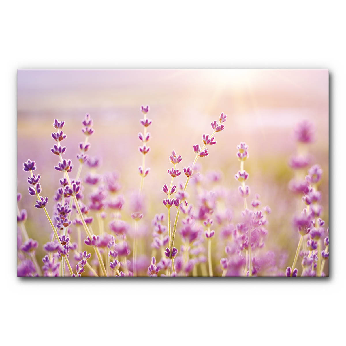 Schallabsorber Bild Lavendelfeld 3 im Format DIN A0